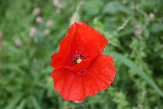 In my neck of the woods, there are fields upon little fields of poppies. Poppies are spontaneous. Their